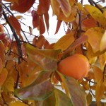 persimmon photo